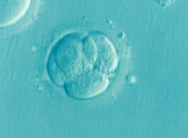 Normal_embryo_ivf