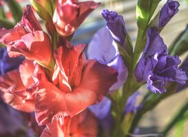 Normal_red-petaled-flower-and-purple-petaled-flower-134072
